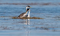 Western Grebes, seen on a nest, are shown in the Thermalito Afterbay.