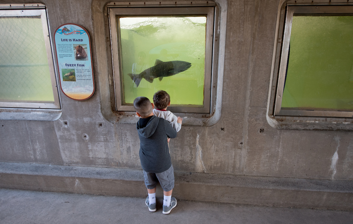 Children get an up-close look at salmon while touring the fish ladder at the Feather River Fish Hatchery