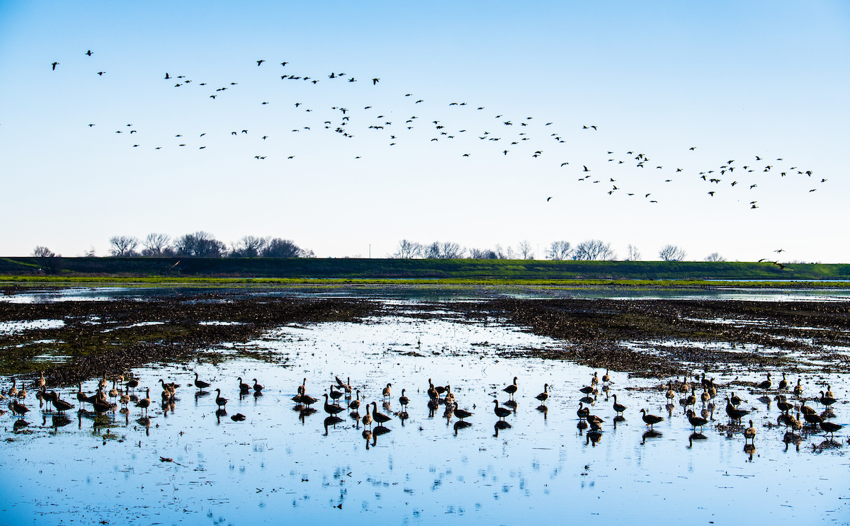 Migratory birds congregate over a field in the Sacramento-San Joaquin Delta.