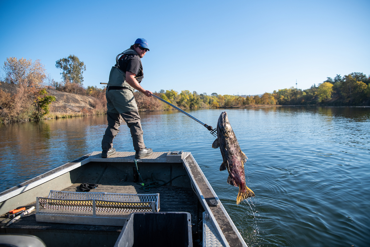 A fisheries technician conducts a salmon carcass survey in the Feather River in Oroville,