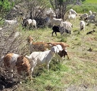 Goats reduce vegetation near diversion pool
