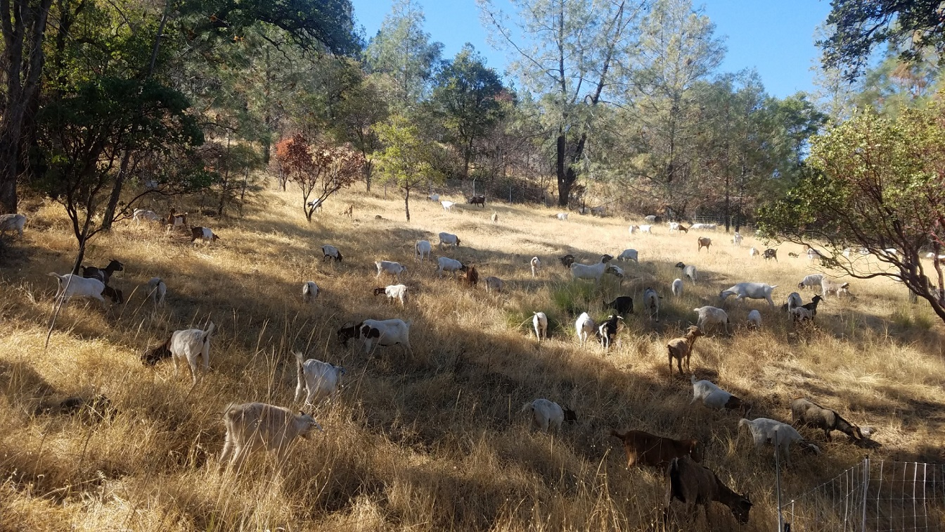 Goats graze land around Lake Oroville to reduce wildfire risk.