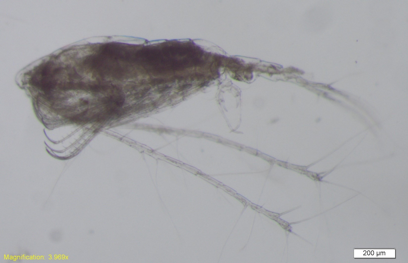 other zooplankton
