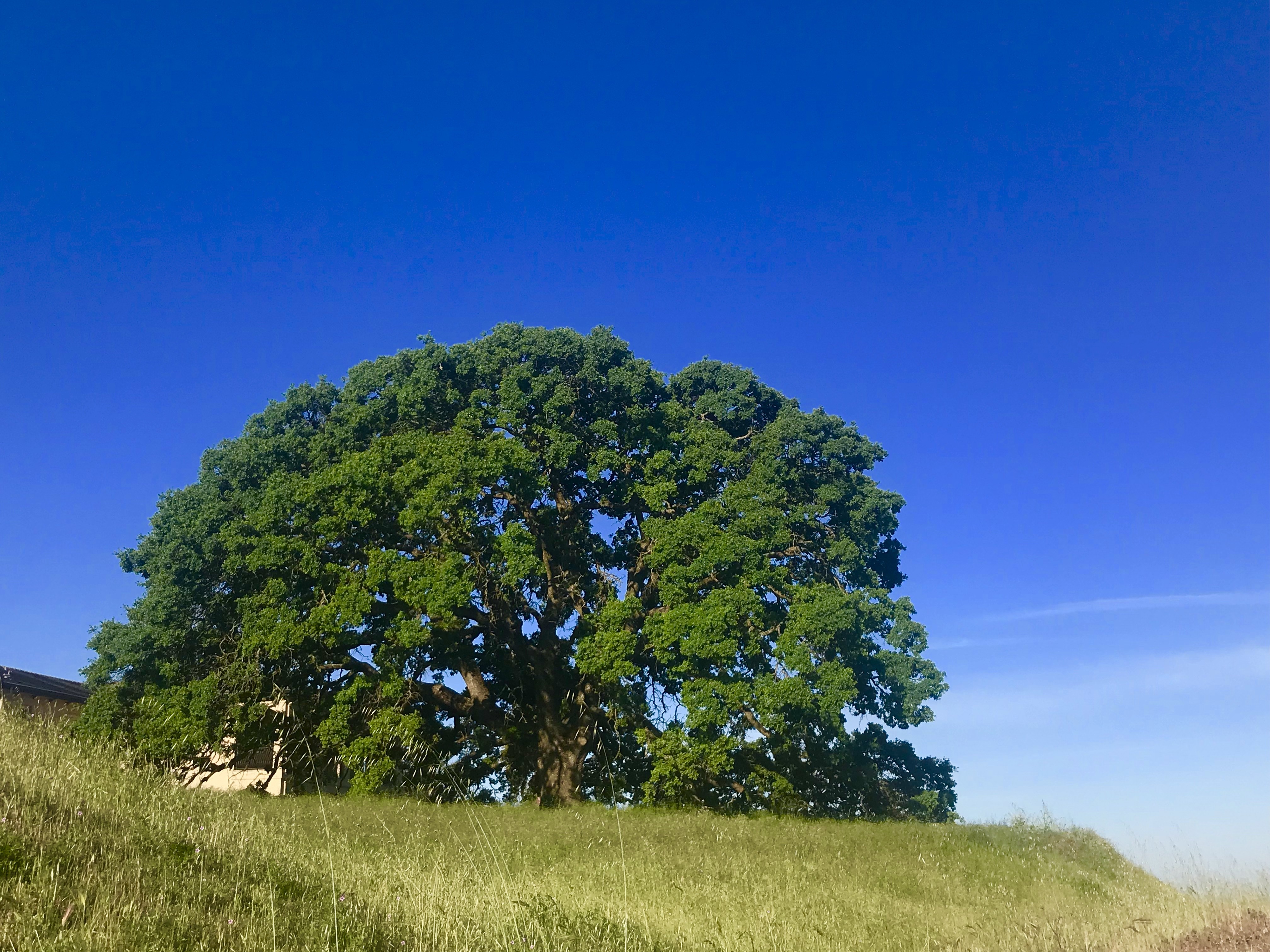 Large tree on hill