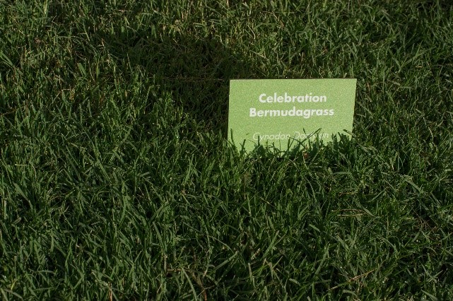 Celebration bermuda grass